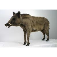 Wild Boar Standng 57
